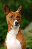 The Basenji Stock Image