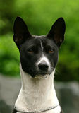 The Basenji Royalty Free Stock Images