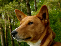 Basenji. An african non-barking dog portrait Royalty Free Stock Images