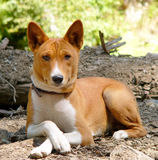 Basenji Photographie stock