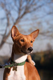 Basenji_2 Stock Photos