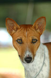 Basenji. A beautiful brown and white Basenji dog head portrait with cute expression in face watching other dogs in the park outdoors Royalty Free Stock Images