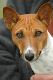 Basenji. A beautiful brown and white Basenji dog head portrait with cute expression in the face watching other dogs Stock Photography