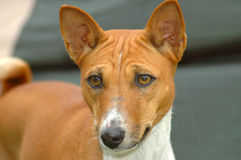 Basenji. A beautiful brown and white Basenji dog head portrait with cute expression in the face watching other dogs on the park outdoors Stock Photo