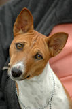 Basenji Royalty Free Stock Photos