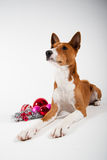Basenji Photos stock