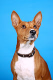Basenji Foto de Stock Royalty Free