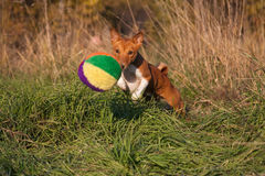 Basenji_6 Royalty Free Stock Photos