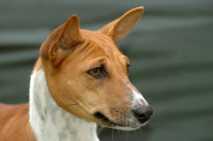 Basenji. Outdoor portrait of a beautiful adult brown and white Basenji dog staring Royalty Free Stock Images