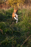 Basenji_7 Royalty Free Stock Image