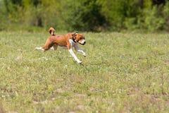 Basenji bieg przez pole Fotografia Stock