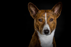 Basenji black background royalty free stock photos