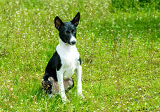 Basenji black and white. Royalty Free Stock Photos