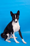 Basenji on the blue background Royalty Free Stock Image