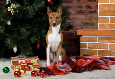 Basenji with christmas-tree decorations. Royalty Free Stock Images