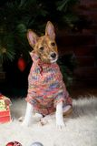 Basenji with christmas-tree decorations. Stock Photo