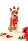 Basenji with christmass tree decorations. Royalty Free Stock Images
