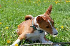 Basenji Congo Terrier Dog is playing with a stick. Basenji is a breed of hunting dogs origin from Central Africa. Smiling dog royalty free stock photo