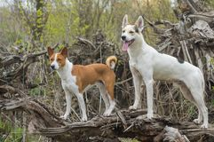 Basenji with cross-breed of hunting and northern dogs standing on a root of fallen tree. And watching royalty free stock images