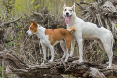 Basenji with cross-breed of hunting and northern dogs standing on a root of fallen tree. At spring season stock photos