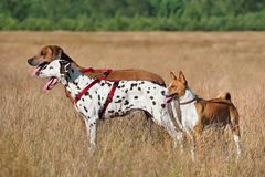 Three dogs on a field. Basenji, Dalmatian and Ridgeback dogs standing on a rural background Royalty Free Stock Photo