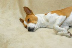Basenji, das auf einer weichen Bettdecke döst Stockfoto