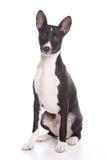 Basenji dog royalty free stock photo