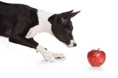 Basenji dog Royalty Free Stock Images