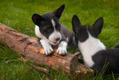 Basenji dog. Litle puppy basenji on green grass Stock Image