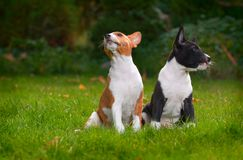 Basenji dog. Litle puppy basenji on green grass Royalty Free Stock Photo