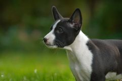 Basenji dog. Litle puppy basenji on green grass Royalty Free Stock Images