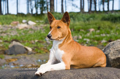 Basenji dog. Basenji - portrait of the african dog Stock Images