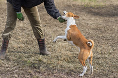 Basenji dog attack. S while playing outdoors with master royalty free stock photos