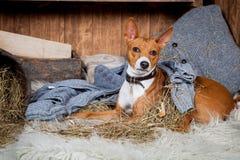 Basenji-dog in barn Royalty Free Stock Images