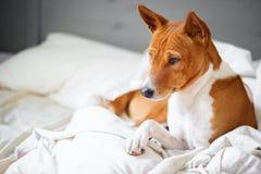 Basenji dog pets in bed stock image