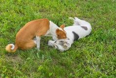 Basenji dog bites bigger dog on the neck Royalty Free Stock Image