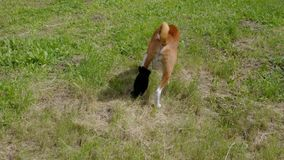 Basenji dog with broken bandaged hind feet stock video