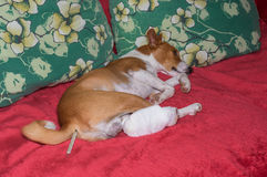 Basenji dog with broken bandaged hind feet lying on a sofa with thermometer in the anus. Sad basenji dog with broken bandaged hind feet lying on a sofa with stock images