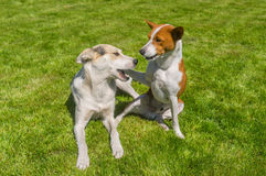Basenji dog calming its younger friend mixed breed dog playing on a fresh lawn Stock Photo