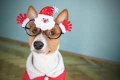 Basenji dog dressed in Santa Claus suit. Stock Photography