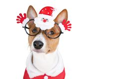 Basenji dog dressed in Santa Claus suit and glasses. Stock Photo