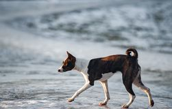 Basenji dog in early spring. Field walking Stock Photo