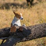 Basenji dog exploring fallen tree on its territory Royalty Free Stock Images