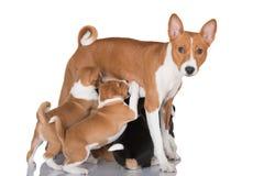 Basenji dog feeding puppies Stock Images