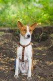 Basenji dog feels ok sitting on the dirty earth. Cute basenji dog feels ok sitting on the dirty earth Stock Photo