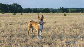 Basenji dog in a field in a muzzle for coursing. Stock Images