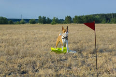Basenji dog in a field in a muzzle for coursing. Royalty Free Stock Image