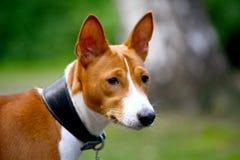 Basenji-dog on the grass Royalty Free Stock Photos