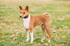 Basenji dog on grass outdoor. The Basenji is a breed of hunting. Basenji dog on grass outdoor. Basenji Kongo Terrier Dog. The Basenji is a breed of hunting dog Royalty Free Stock Image