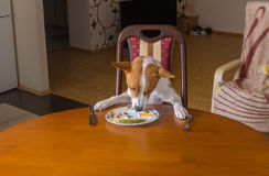 Basenji dog is having lunch all alone in empty dining room Royalty Free Stock Photos